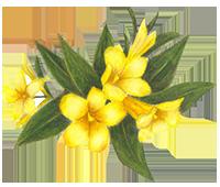 yellow_jasmine2